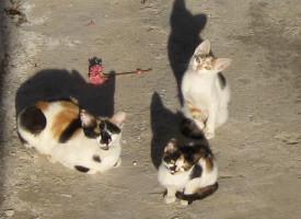 Esterilización-de-gatos-1