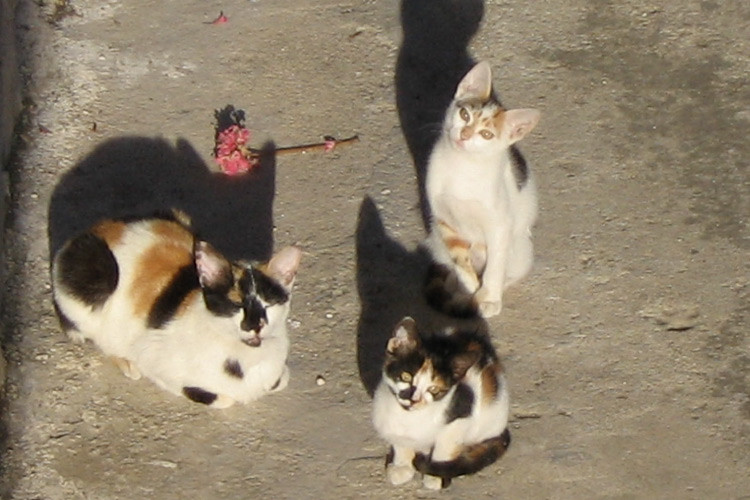 Esterilización-de-gatos